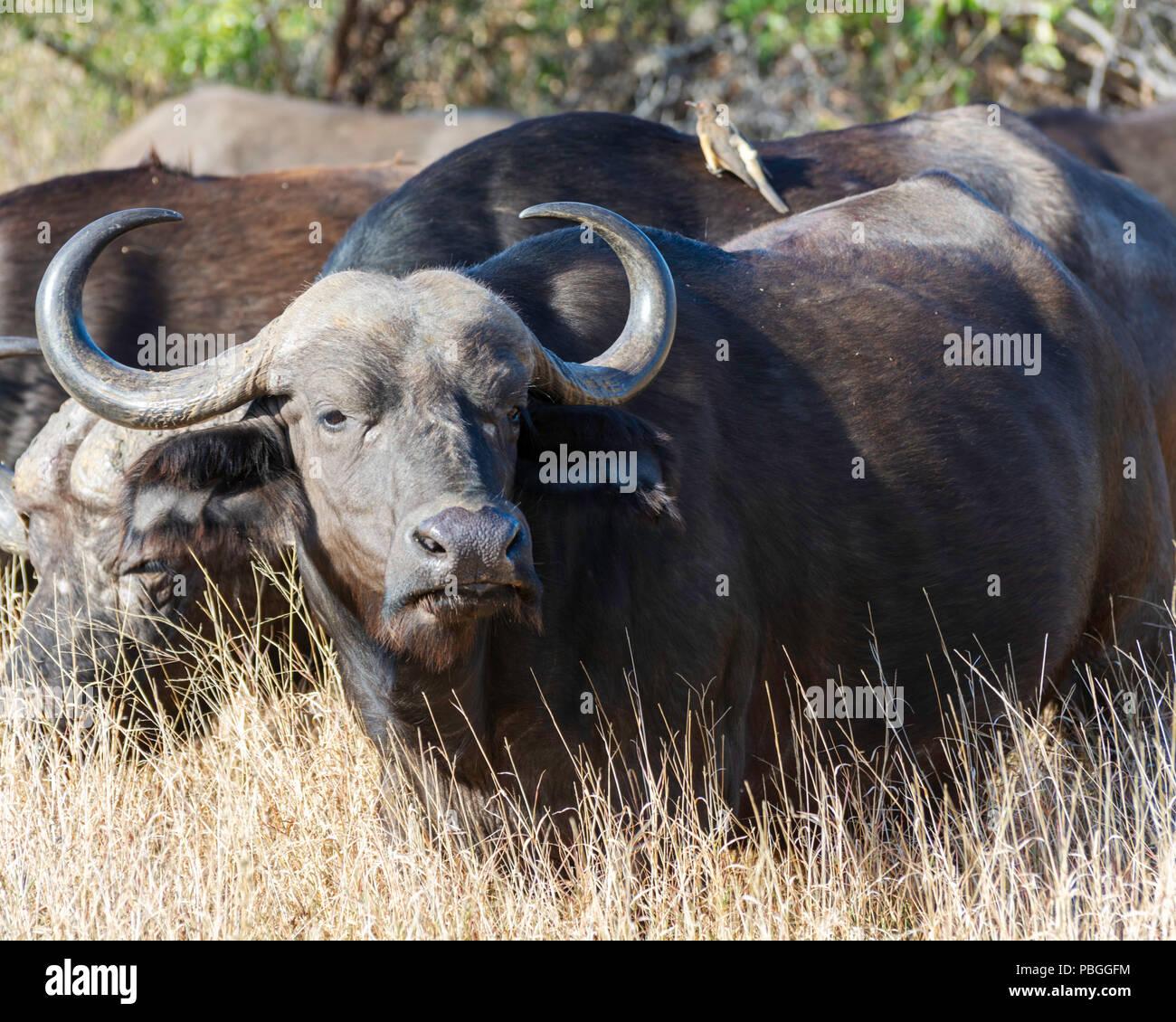 Búfalo del cabo Foto de stock