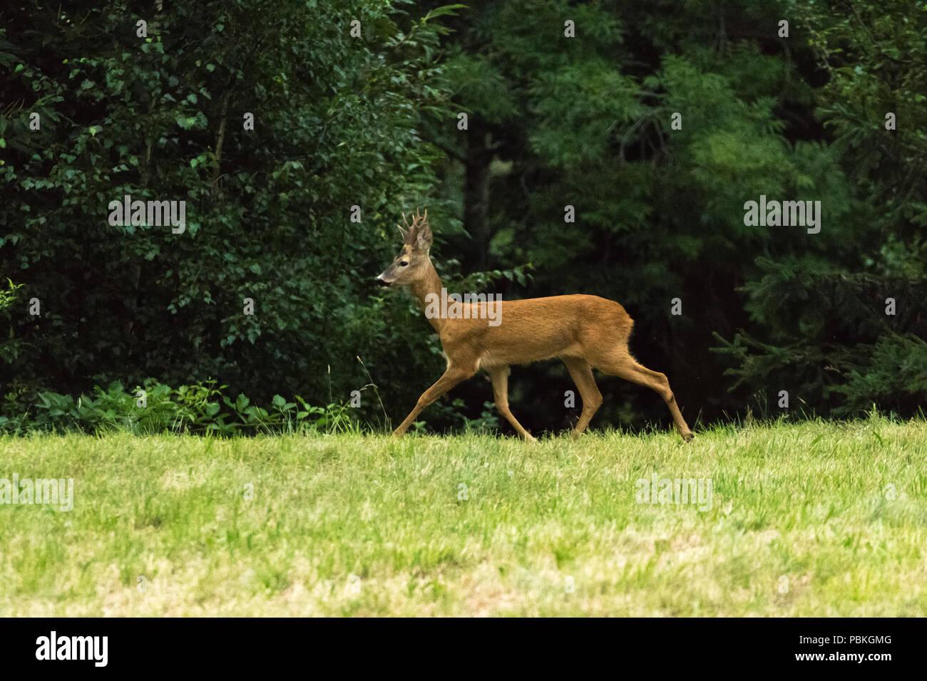 Ciervos en el bosque fauna silvestre leonado Imagen De Stock