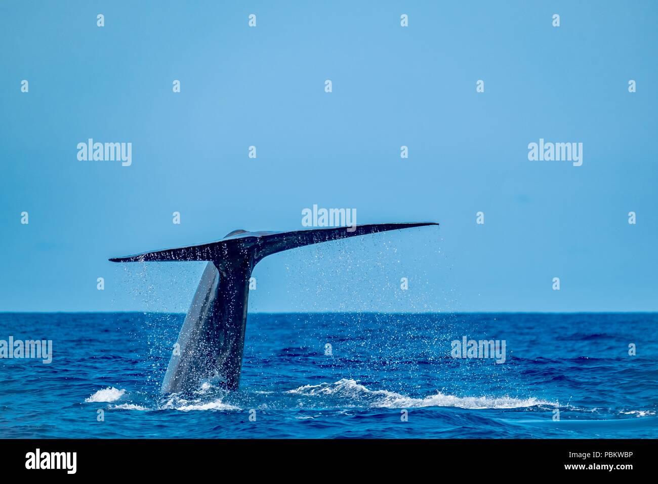 Una enorme ballena azul femenino mostrando su cola como ella inmersiones Foto de stock