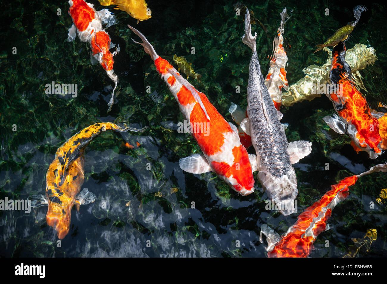Vista Superior Del Movimiento Colorido Fancy Carp Peces Nadan En La