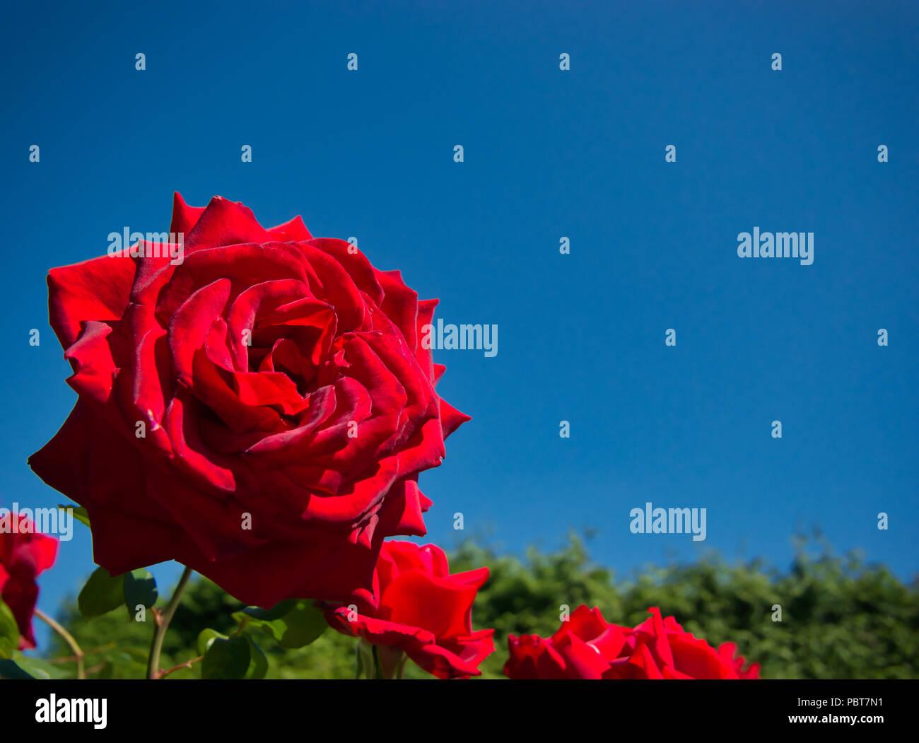 Rosa roja con un aterciopelado y suave flor contra un cielo azul sin nubes y un seto verde Imagen De Stock