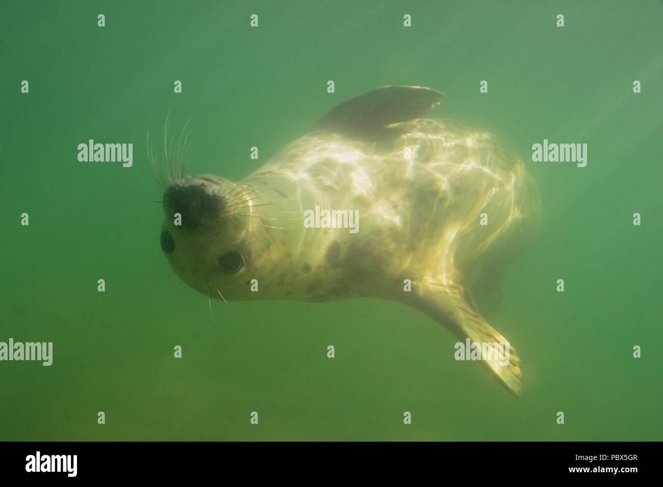UW Unterwasser, focas grises, Kegelrobbe, Halichoerus grypus Foto de stock
