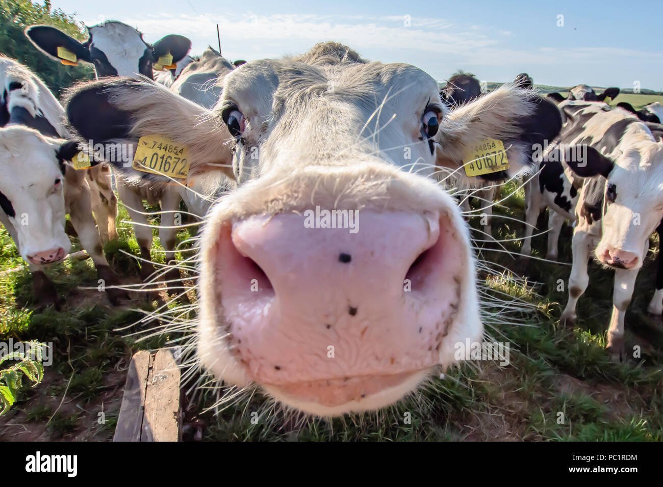Vaca blanca cerca de retrato en la pastura.Farm animal mirando a la cámara con lente gran angular.gracioso y adorables animales bovinos.uk.gracioso vacas. Imagen De Stock