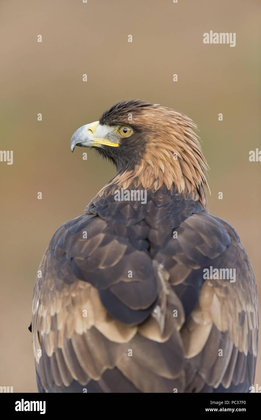 Aguila En La Espalda Águila real (aquila chrysaetos) adulto, cerca de la cabeza y