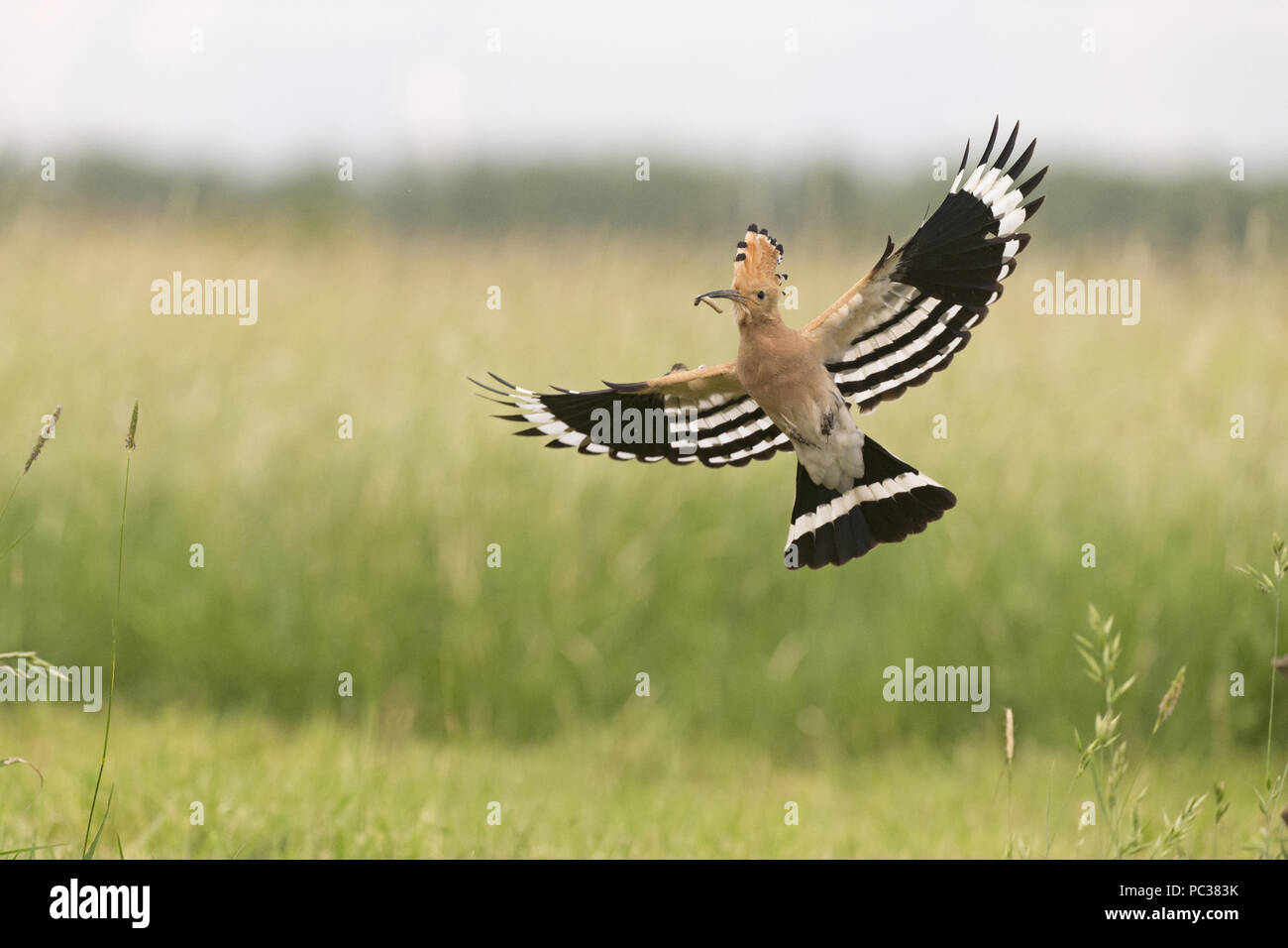 Eurasiática Abubilla (Upupa epops) adulto, volar con Caterpillar en pico de Hortobagy, N.P., de Hungría, de mayo Foto de stock
