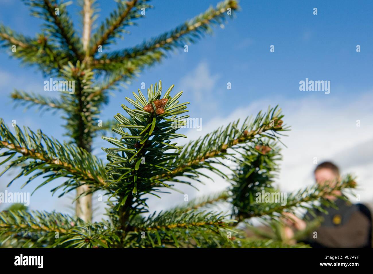 Los árboles de navidad en la granja de cultivo Foto de stock
