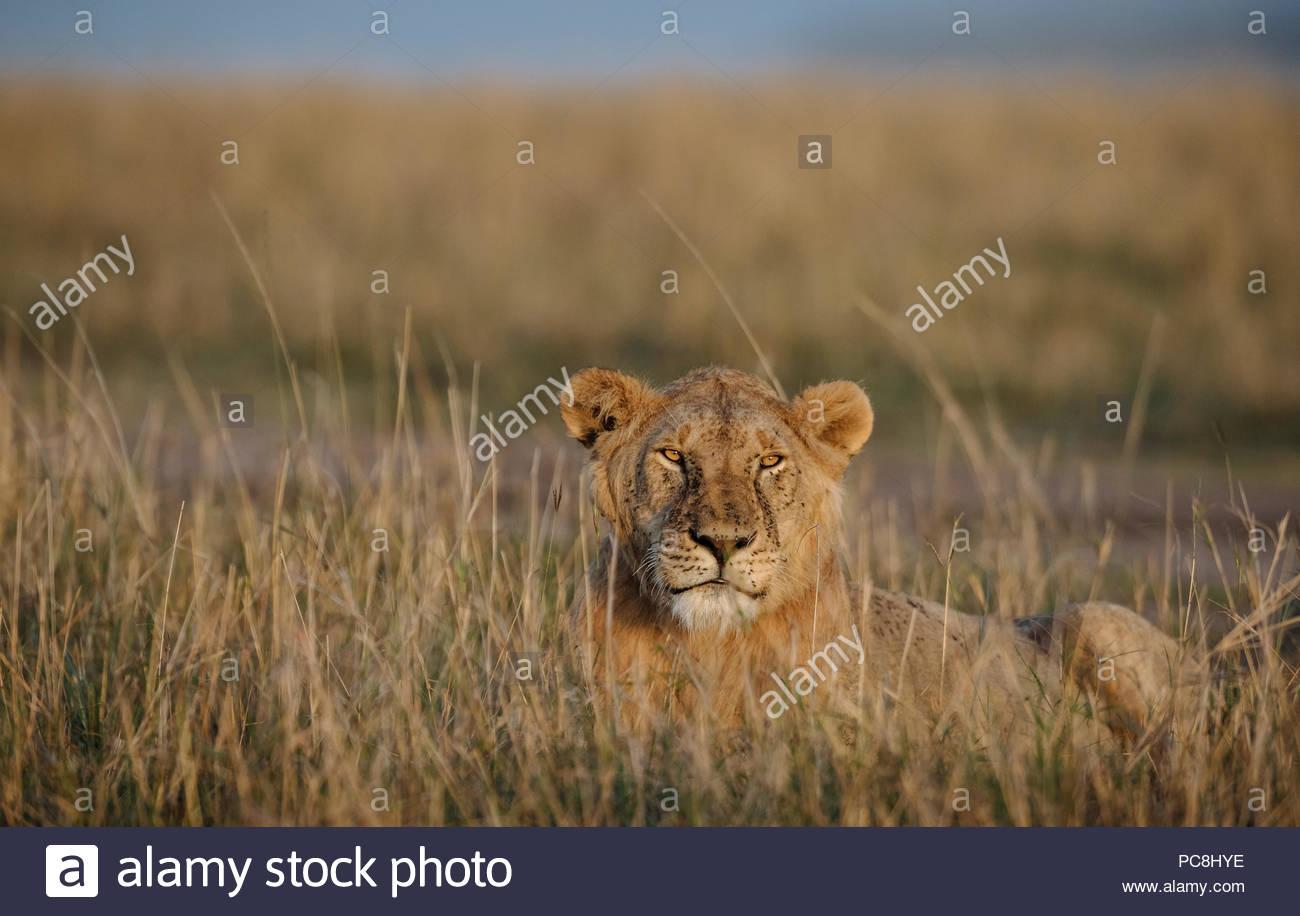 Retrato de un hombre león, Panthera leo, descansando en el pasto seco. Foto de stock
