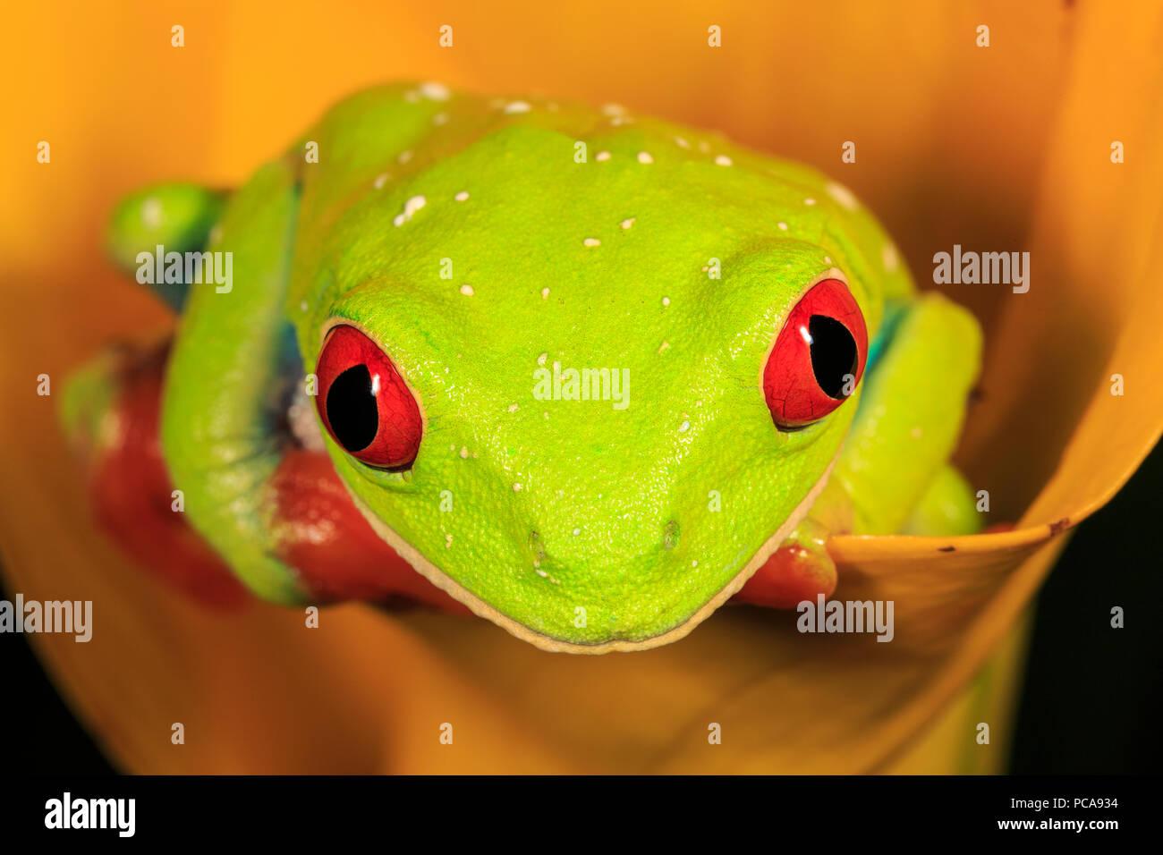 La rana arborícola de ojos rojos (Agalychnis callidryas) sobre naranja lirio de agua Foto de stock