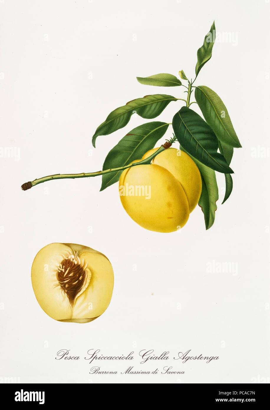 Amarillo con forma de manzana melocotón en su rama con hojas. Sección de frutas aisladas sobre fondo blanco. Ilustración botánica antigua realizada con una acuarela detallada por Giorgio Gallesio en 1817, 1839 Italia Imagen De Stock
