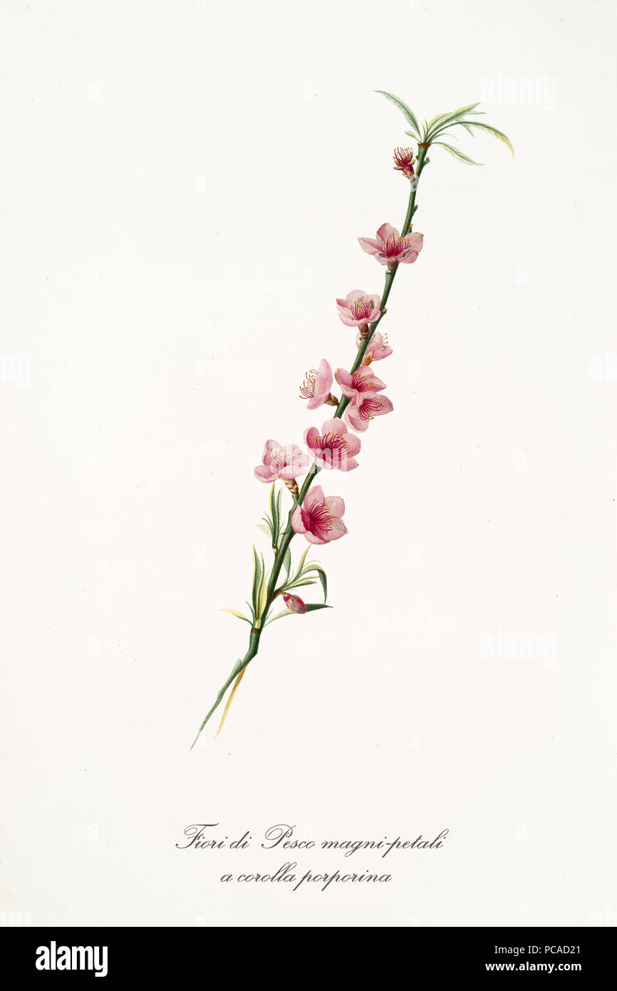 Durazno Rosa Flores En Una Sola Rama De Durazno Aislado Sobre Fondo