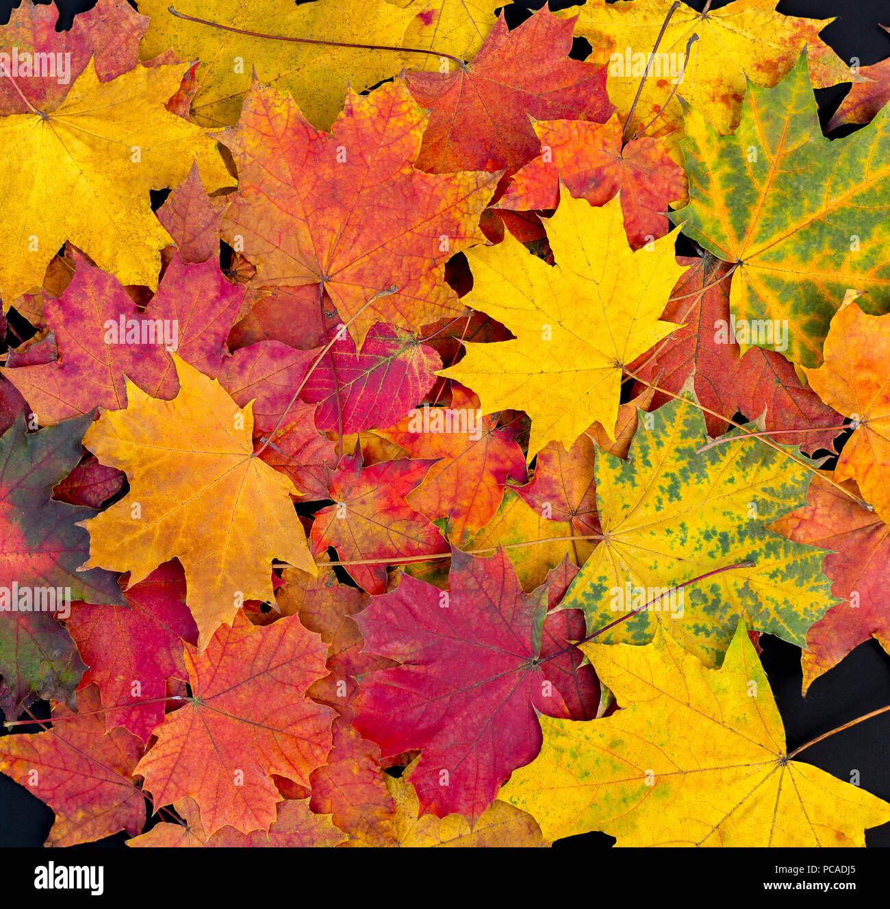 Hojas de otoño colorido telón de fondo. Hojas de arce brillante Foto de stock