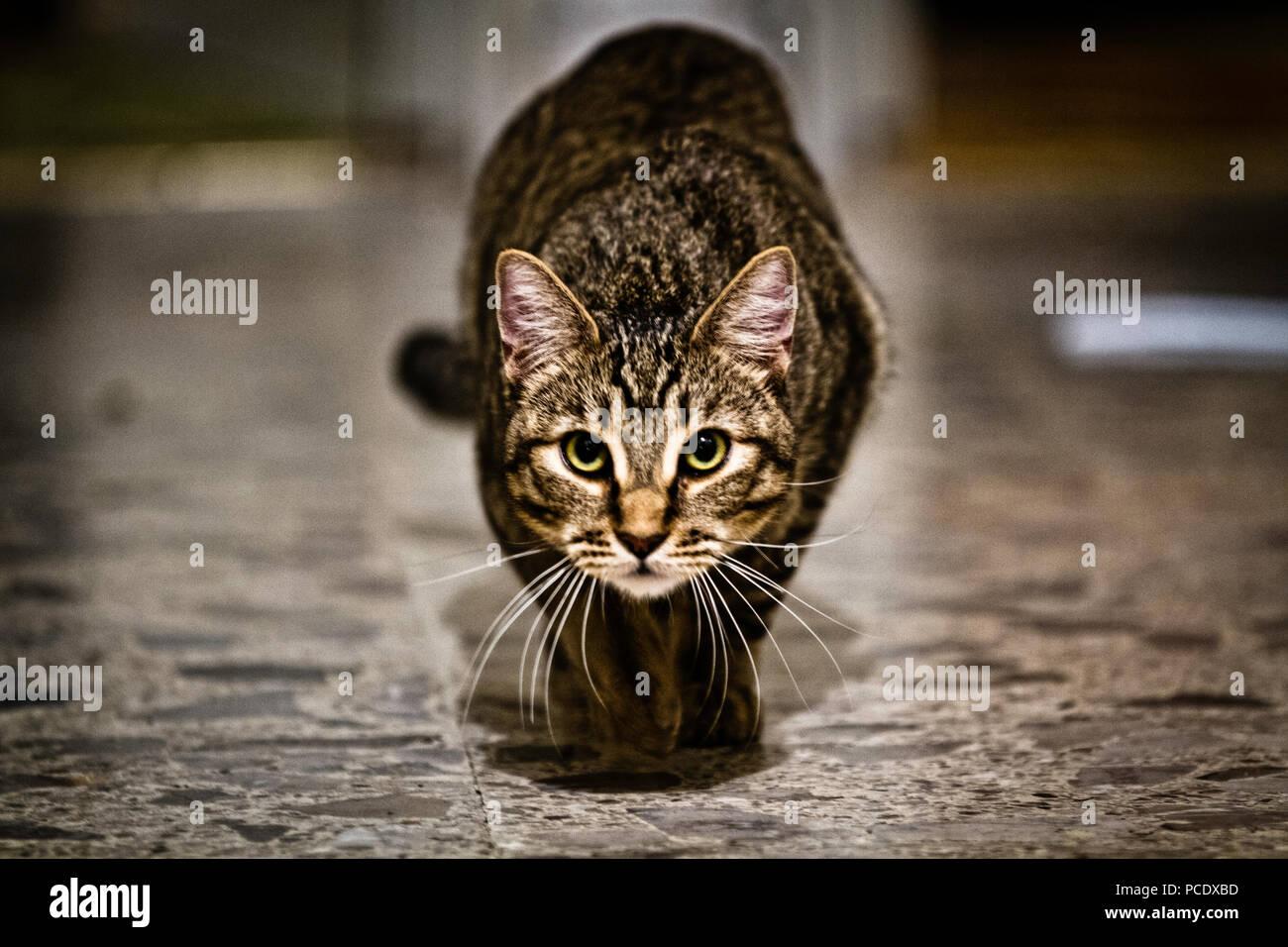 Estaba en el piso tomándole fotos a mi gato garras, cuando de repente bajo los bigotes, se me quedo viendo fijamente, se propensas en acecho, y empieza a c Imagen De Stock
