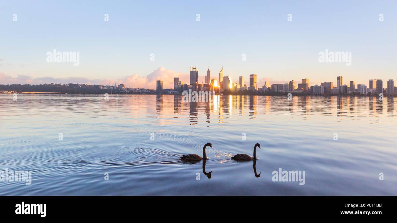 Cisnes negros (Cygnus atratus) en el Río Swan al amanecer. Al sur de Perth, Australia Occidental Imagen De Stock