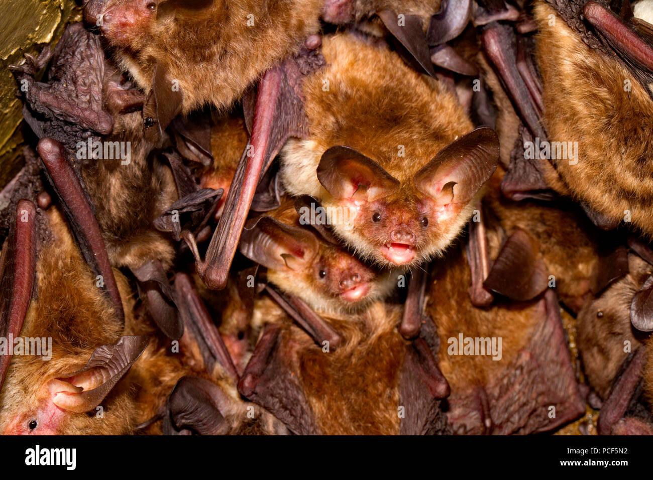 Los bates de bechstein (Myotis bechsteinii) Imagen De Stock