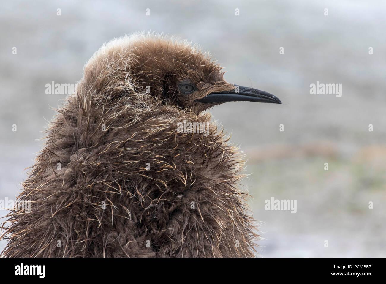 Joven polluelo de pingüino rey en las Islas Falkland Imagen De Stock