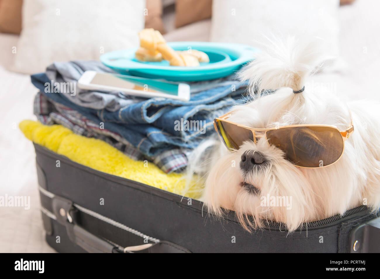De Imágenes Stockamp; With Sunglasses Maltese OPkn80w