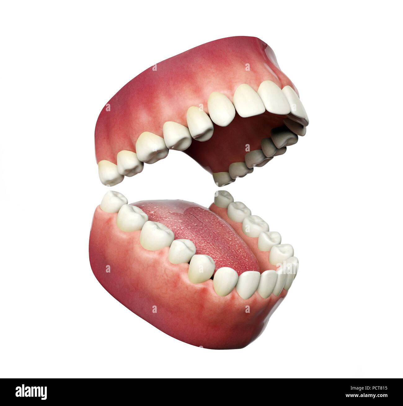 Los dientes humanos apertura aislado sobre fondo blanco, 3D ...