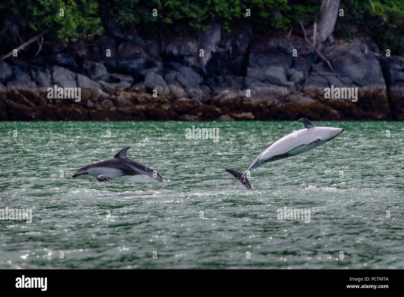 2 cara blanca del Pacífico delfines saltando cerca de la costa en el Knight Inlet, Territorio de las Primeras Naciones, British Columbia, Canadá. Foto de stock