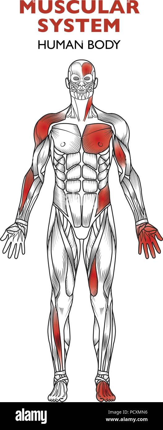 El cuerpo humano, el sistema muscular, el hombre de la anatomía ...