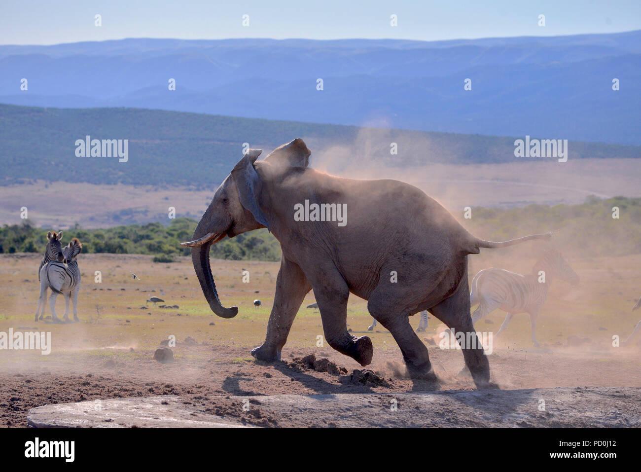 Sudáfrica, un fantástico destino turístico para disfrutar de tercer y primer mundo juntos. Elefante enojado bull persiguiendo cebras desde waterhole. Addo. Imagen De Stock
