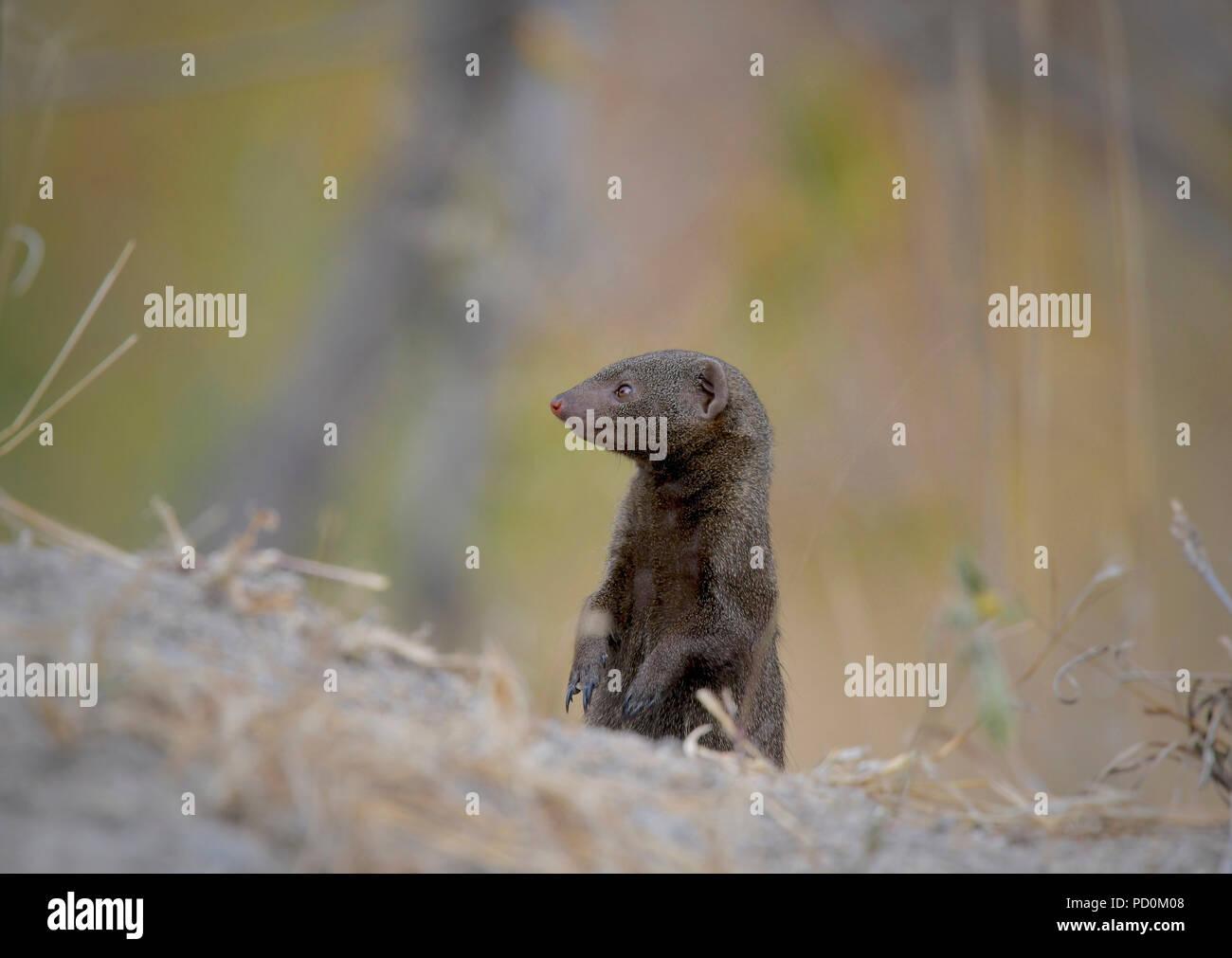 Un enano mangosta está alerta sobre sus pies traseros, mirando o enemigos en el Parque Nacional Kruger, Sudáfrica Imagen De Stock