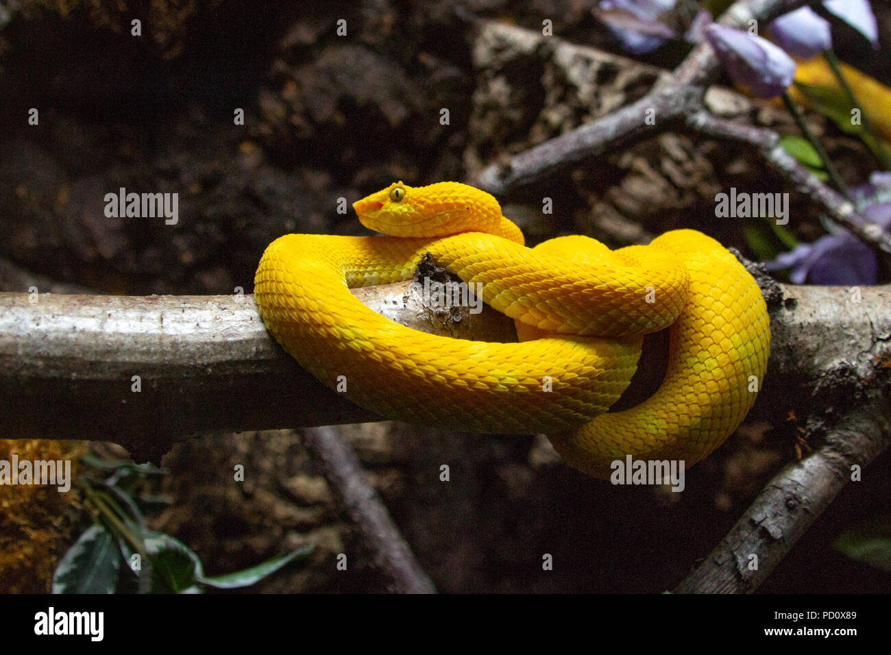 Bothriechis schlegelii el ojo lash viper snake Imagen De Stock