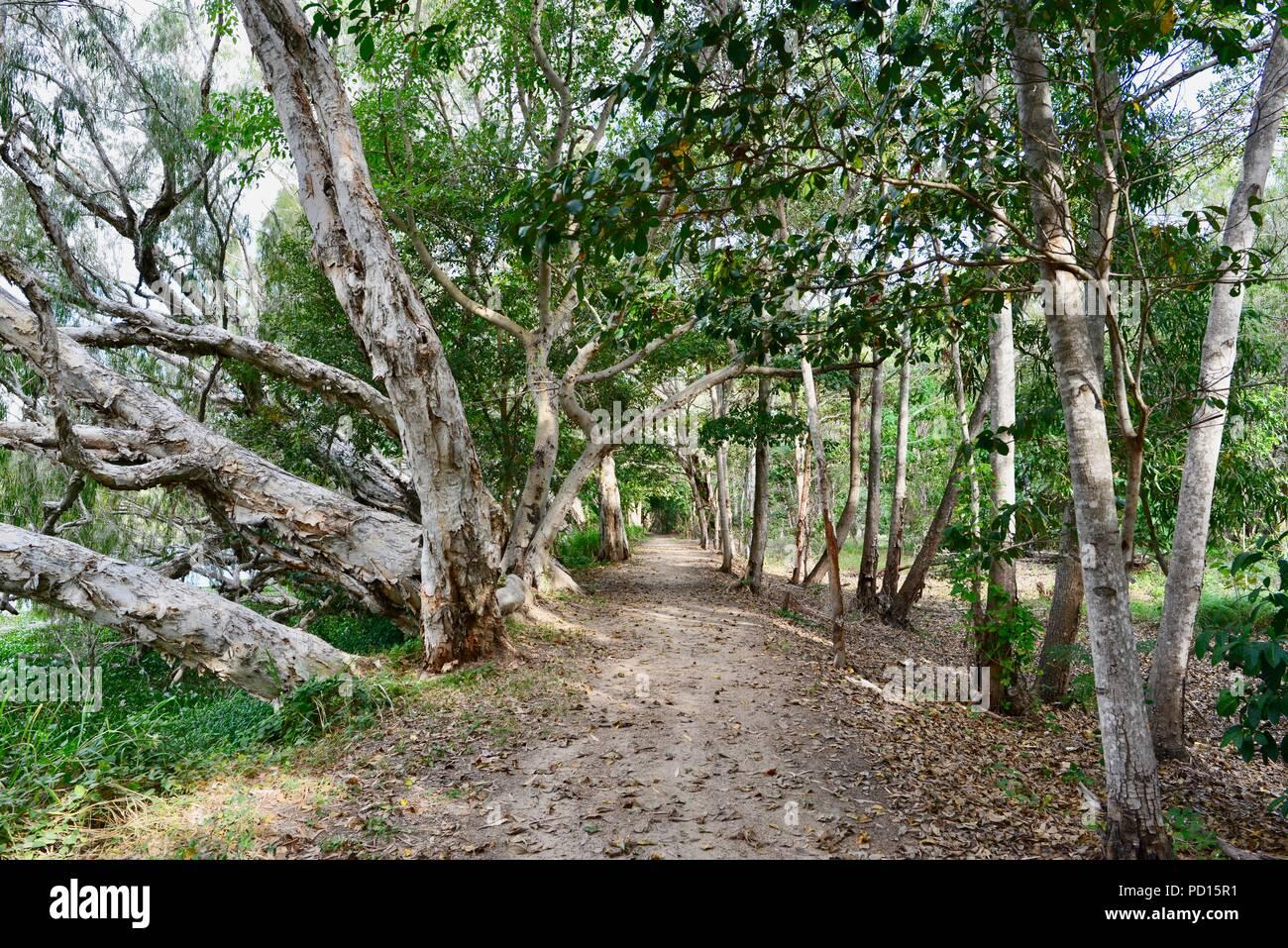 Melaleucas Paperbark o creciendo cerca de un río, Booroona sendero en el Ross River, Rasmussen QLD 4815, Australia Foto de stock