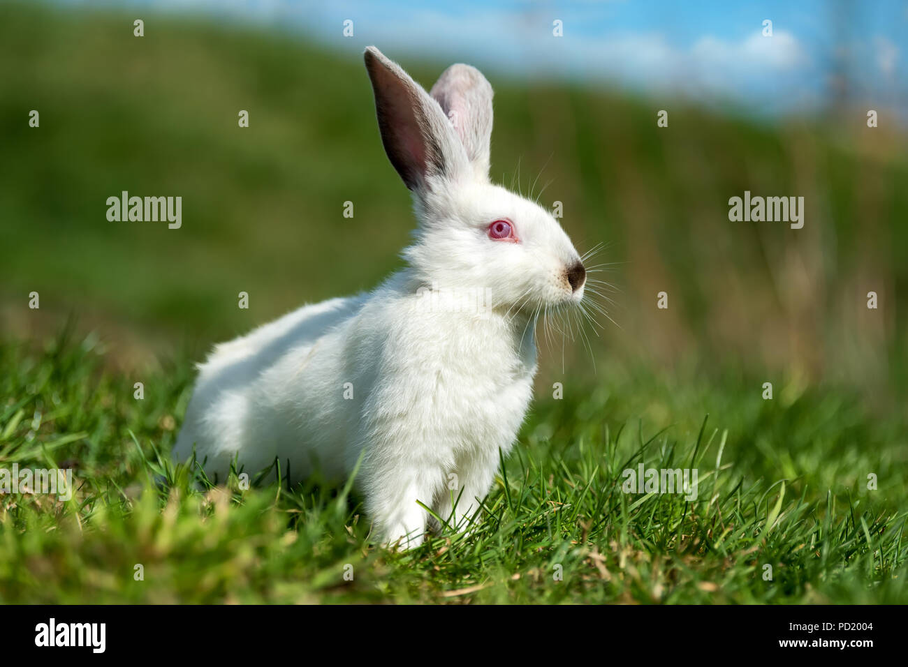 Poco conejo blanco sobre la hierba verde en el día de verano Imagen De Stock