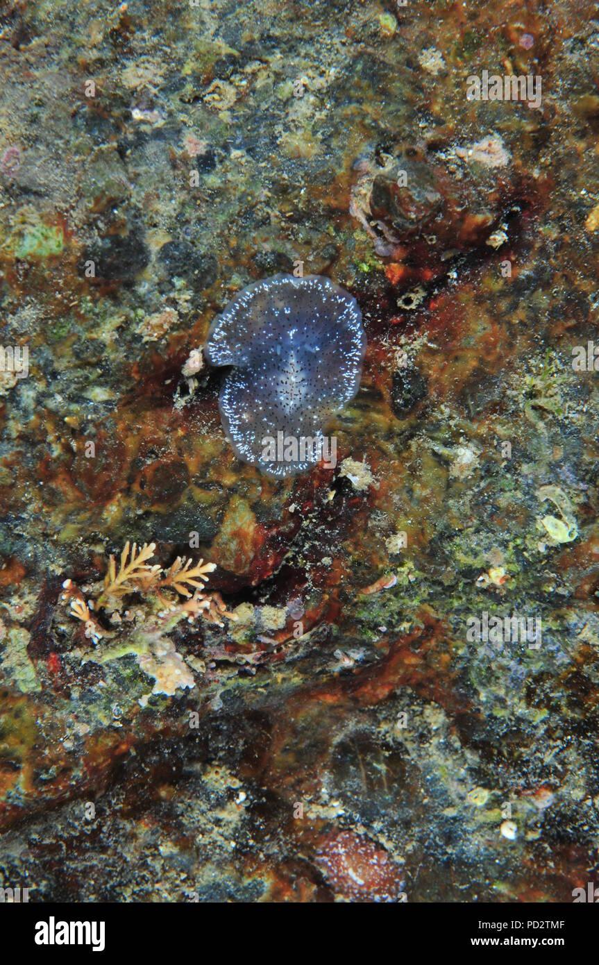Flatworm translúcido en color sobre roca. Parece decorado moviendo la cinta  de plástico sorprendentemente rápido 25d68d4c36c