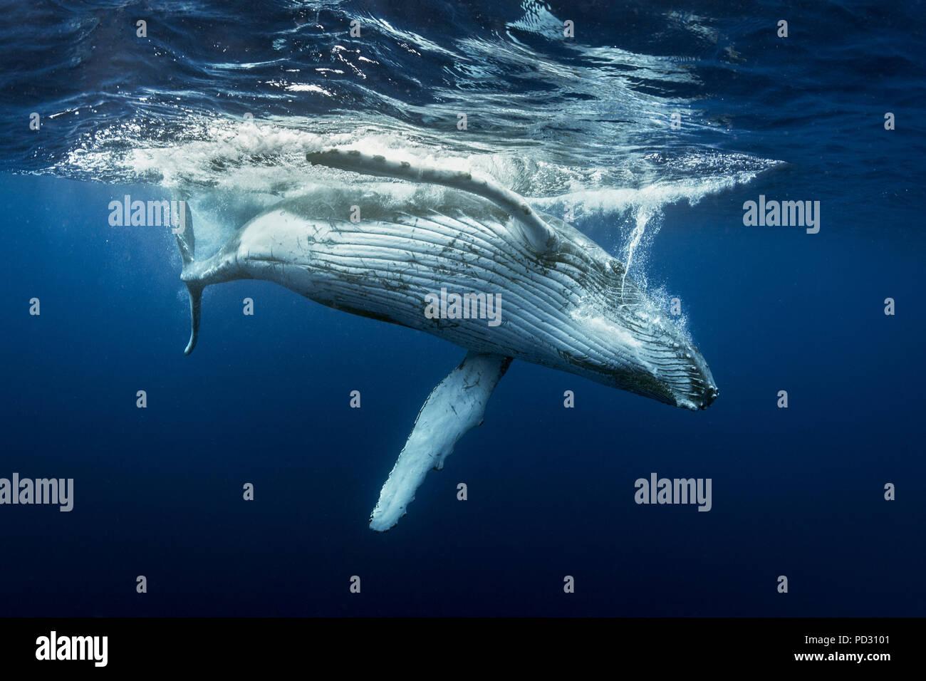 Las ballenas jorobadas (Megaptera novaeangliae), vista submarina, Tonga, Fiji, Occidental Foto de stock