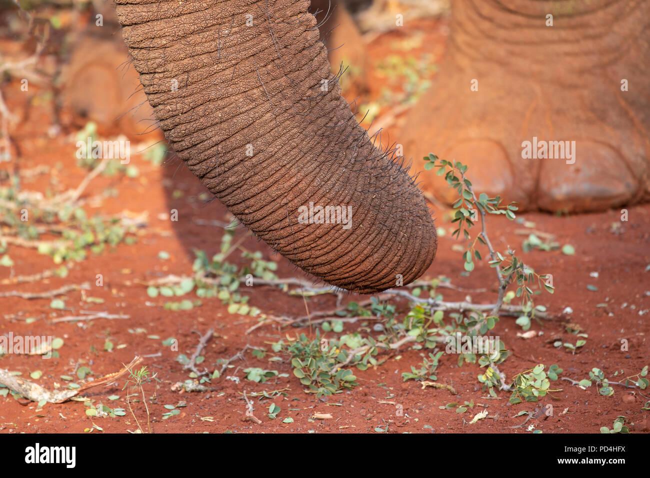Cerca de una trompa de elefante africano Loxodonta africana con un pie en el fondo Imagen De Stock