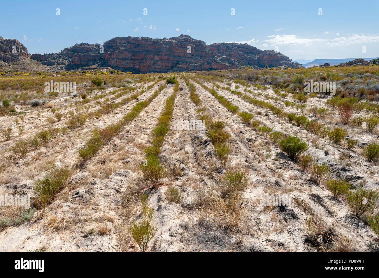 Rooibos plantaciones en las montañas Cederberg de Sudáfrica. Imagen De Stock