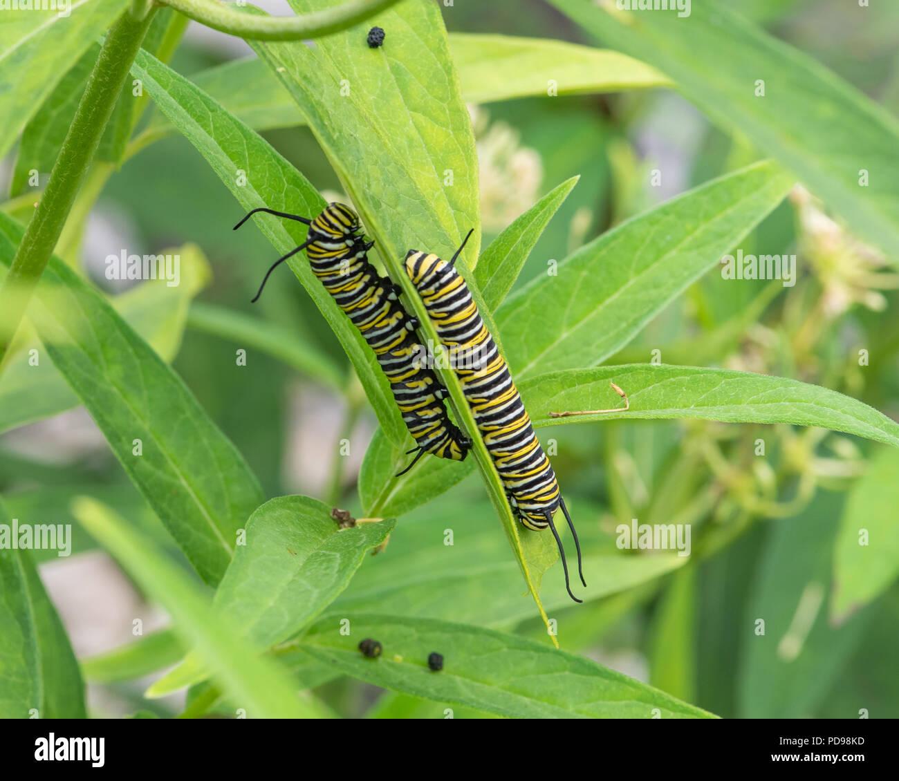 Dos orugas de la mariposa monarca, Danaus plexippus, alimentándose de pantano, Asclepias asclepias incarnata, en un jardín en el especulador, NY ESTADOS UNIDOS Foto de stock
