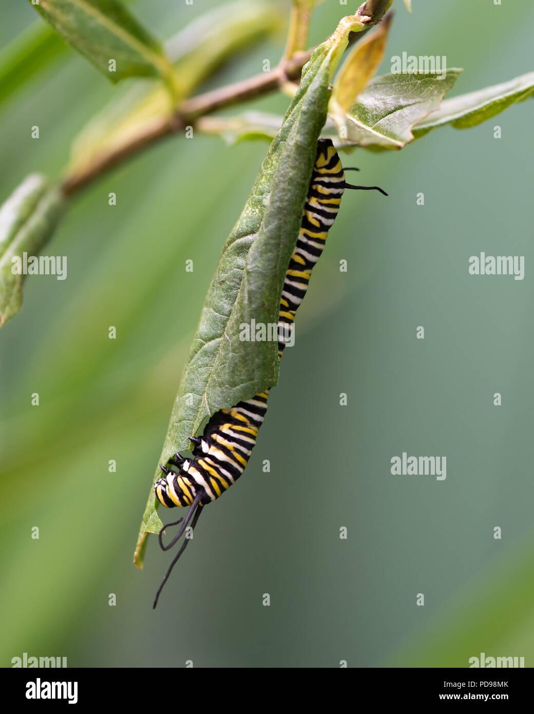 La oruga de la mariposa monarca, Danaus plexippus, alimentándose de pantano, Asclepias asclepias incarnata, en un jardín en el especulador, NY ESTADOS UNIDOS Foto de stock