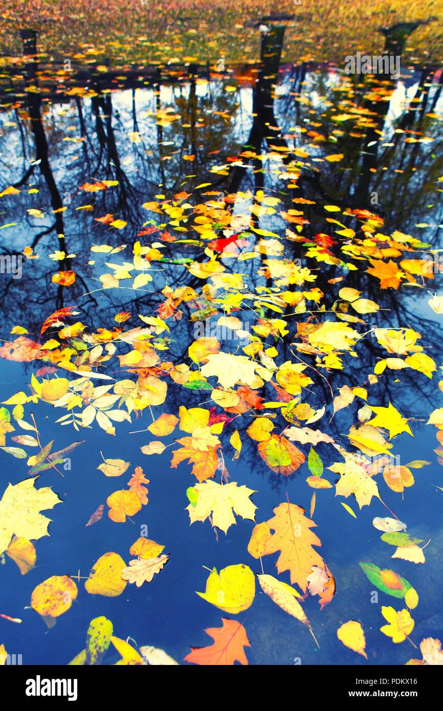 Hojas de otoño flotando en el agua en la reflexión, las siluetas de los árboles en la orilla Foto de stock