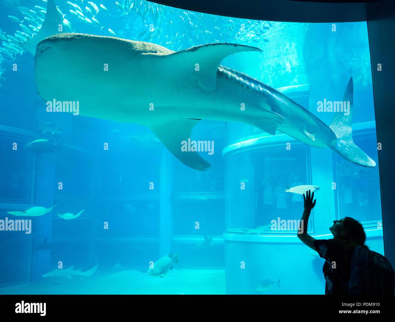 Una mujer ondas al tiburón ballena (Rhincodon typus) en el Océano Pacífico, exposición en Acuario Osaka Kaiyukan de Osaka, Japón. Imagen De Stock