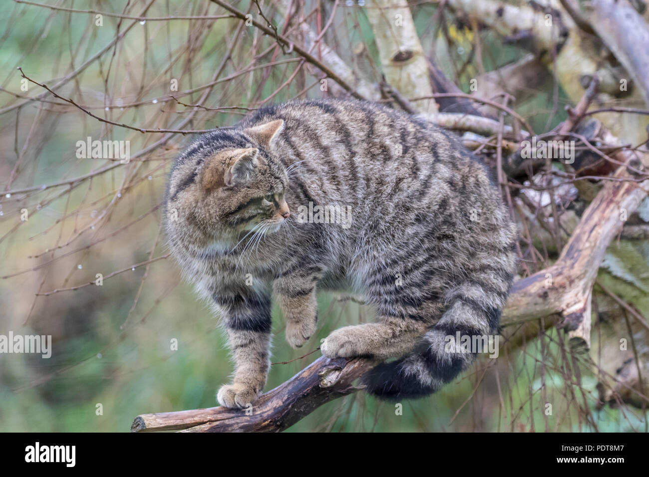 Scottish gato montés (Felis silvestris) o grampia Highland tiger Imagen De Stock