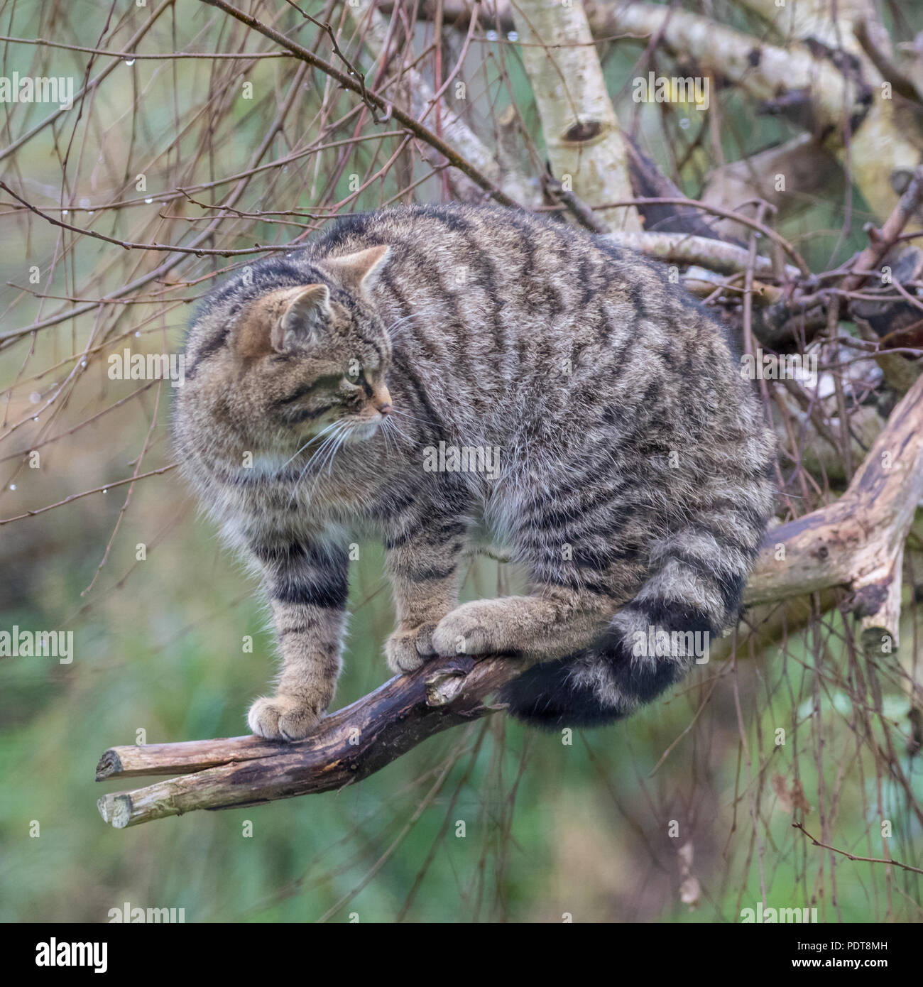 Scottish gato montés (Felis silvestris) o grampia Highland tiger Foto de stock
