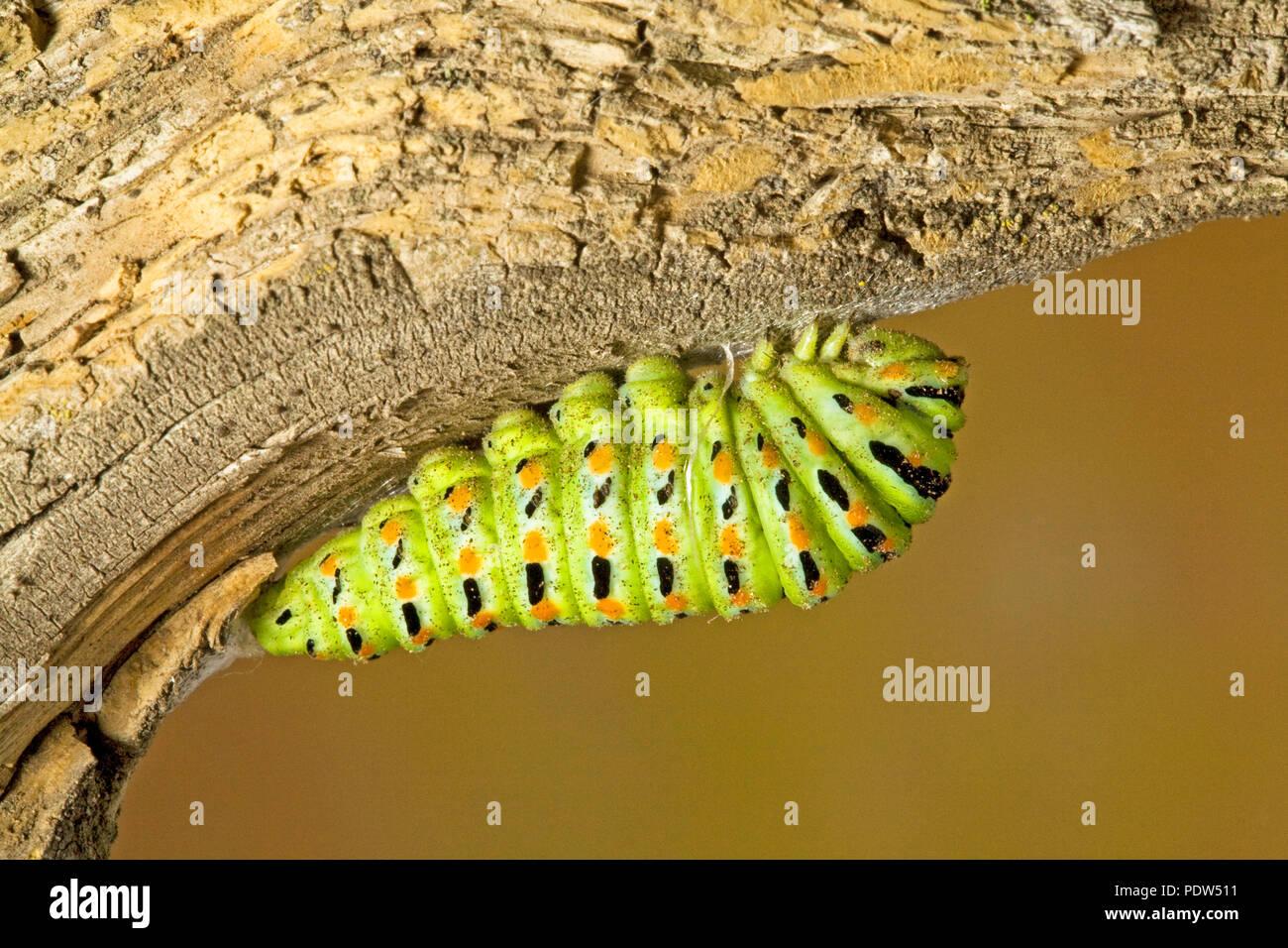 La crisálida de una especie de anís caterpillar, mariposas, silked Papil a una rama del árbol, en las montañas de la cascada de Oregon central. Foto de stock
