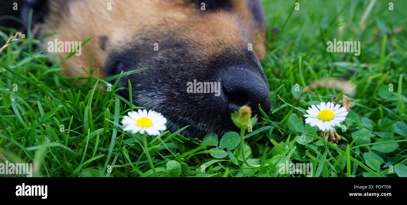 Perro durmiendo en el pasto verde y flor blanca Imagen De Stock