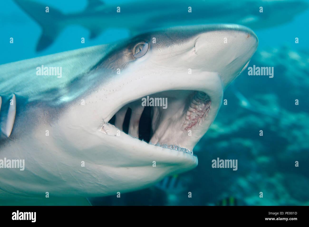 Un tiburón gris de arrecife, Carcharhinus amblyrhynchos, abre la boca durante un tiburón se alimentan de la isla de Yap, Micronesia. Foto de stock