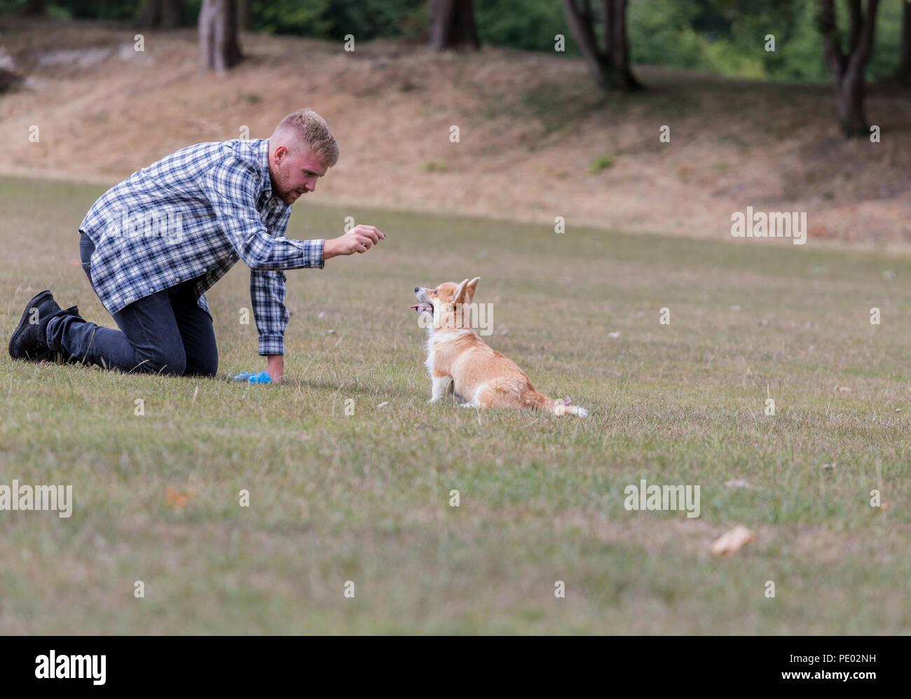 4 mes de edad Welsh Corgi Pembroke cachorro en un paseo con su dueño macho en la campiña, Oxfordshire, REINO UNIDO Foto de stock