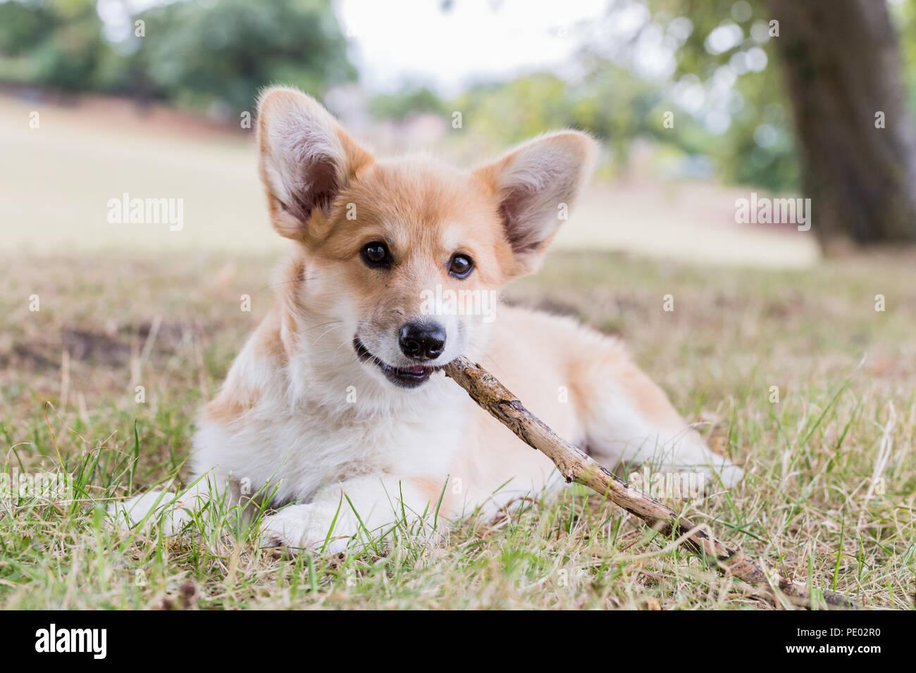 4 mes de edad Welsh Corgi Pembroke cachorro en un paseo por el campo, Oxfordshire, REINO UNIDO Foto de stock