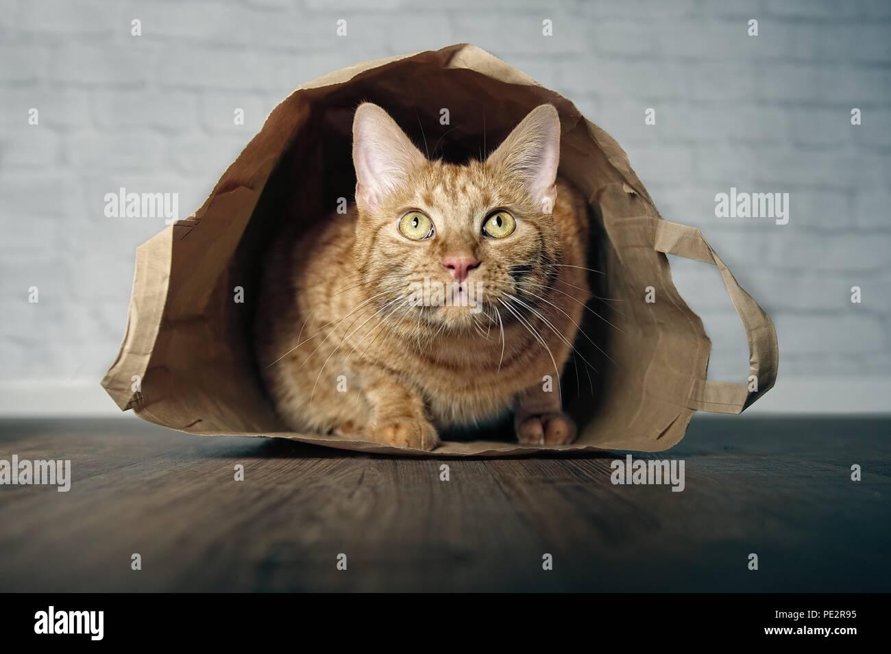 Jengibre lindo gato tumbado en una bolsa de papel y curiosos mirando hacia arriba. Foto de stock