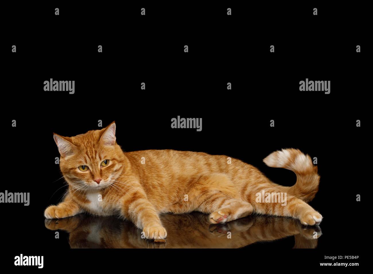 Jengibre perezoso gato mira la lástima y mintiendo sobre fondo negro aislado de espejo, elevando paw Imagen De Stock