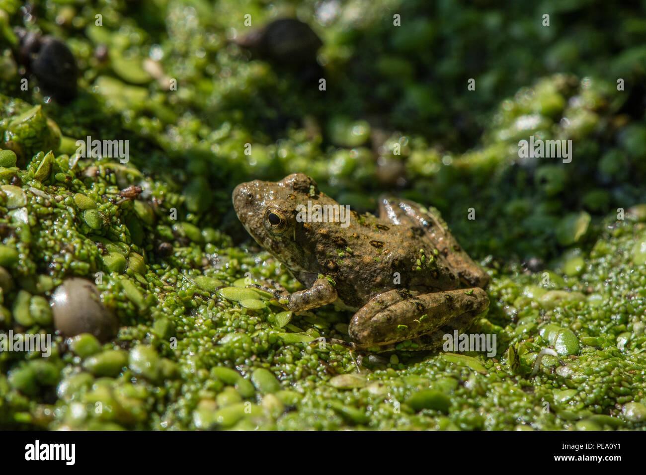 Blanchard's Cricket sapo (Acris blanchardi) de Knox County, Illinois, EE.UU.. Foto de stock