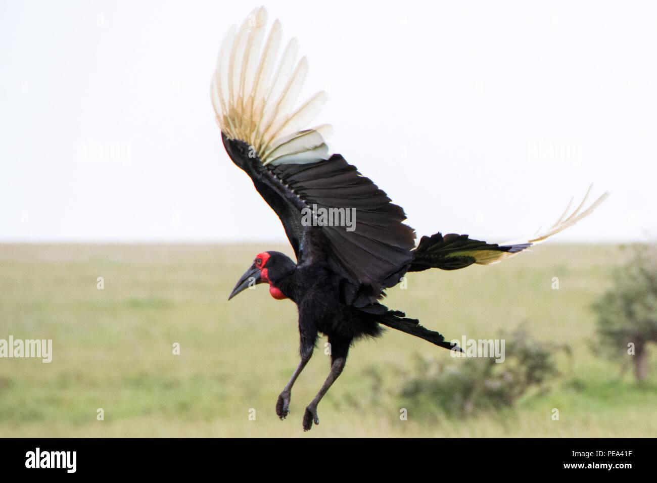 Un suelo volar lejos de Bucero en las llanuras del Serengeti National Park, Tanzania. Foto de stock