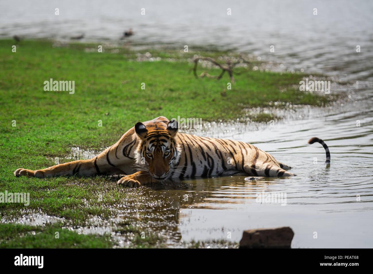 Una tigresa saciar su sed en un lago en el Parque nacional de Ranthambore Imagen De Stock