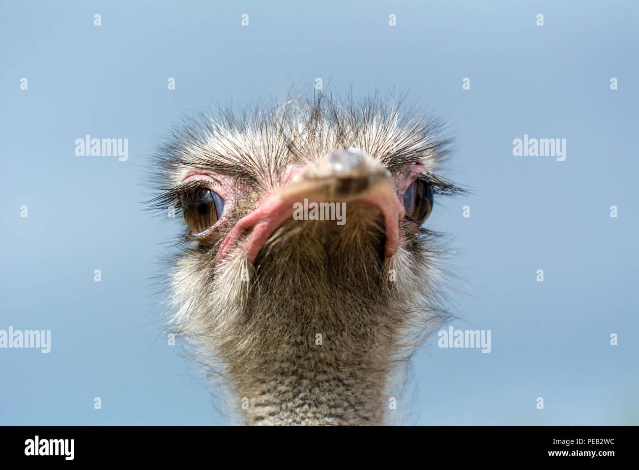 La cabeza de un avestruz closeup sobre un fondo azul. Vista delantera. Imagen De Stock
