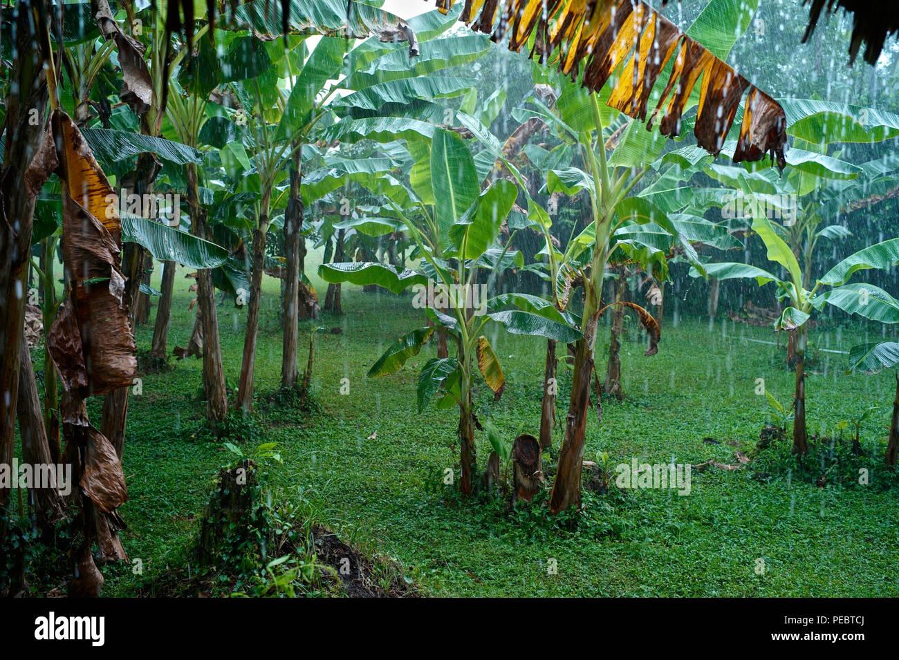 Día lluvioso en una plantación bananera Foto de stock